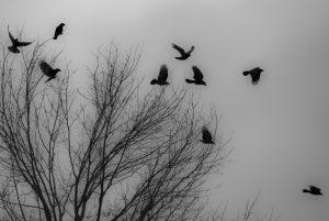 Flock of crows.